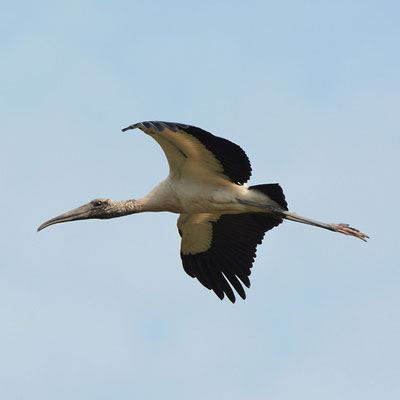 Photo of a Wood Stork flying