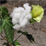 Gossypium barbadense Sea Island Cotton