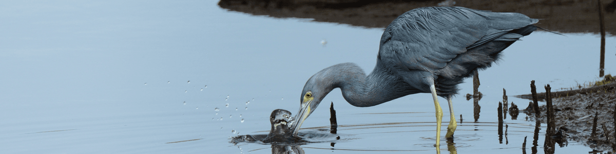 Little Blue Heron fishing at Caw Caw Interpretive Center