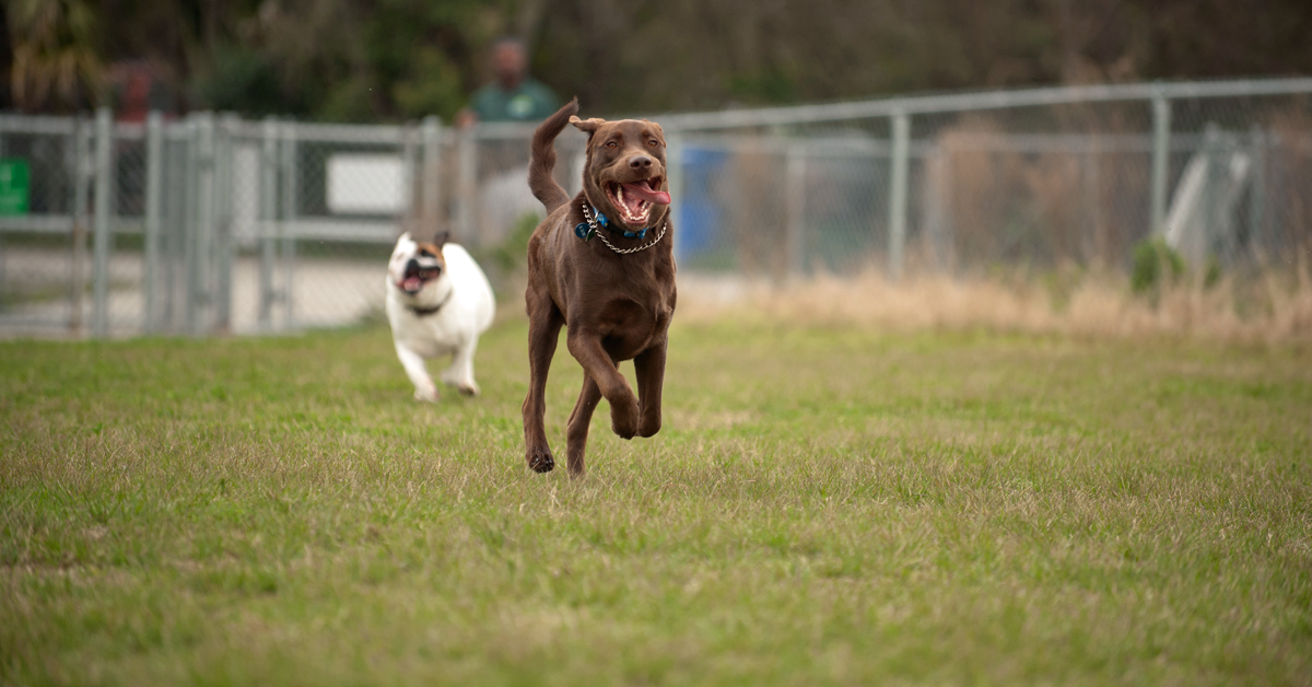 Two dogs playing chase at the dog park