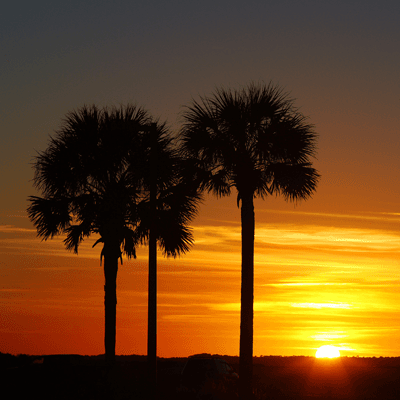 Sunset behind palmetto trees