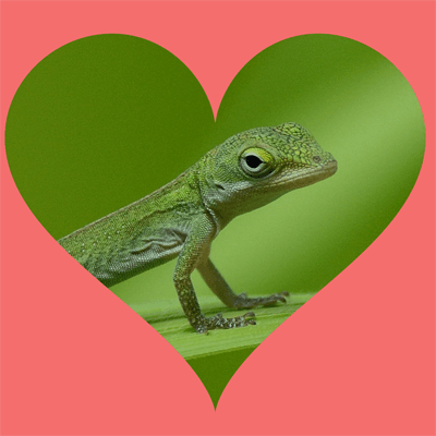 Green anole with heart shaped frame