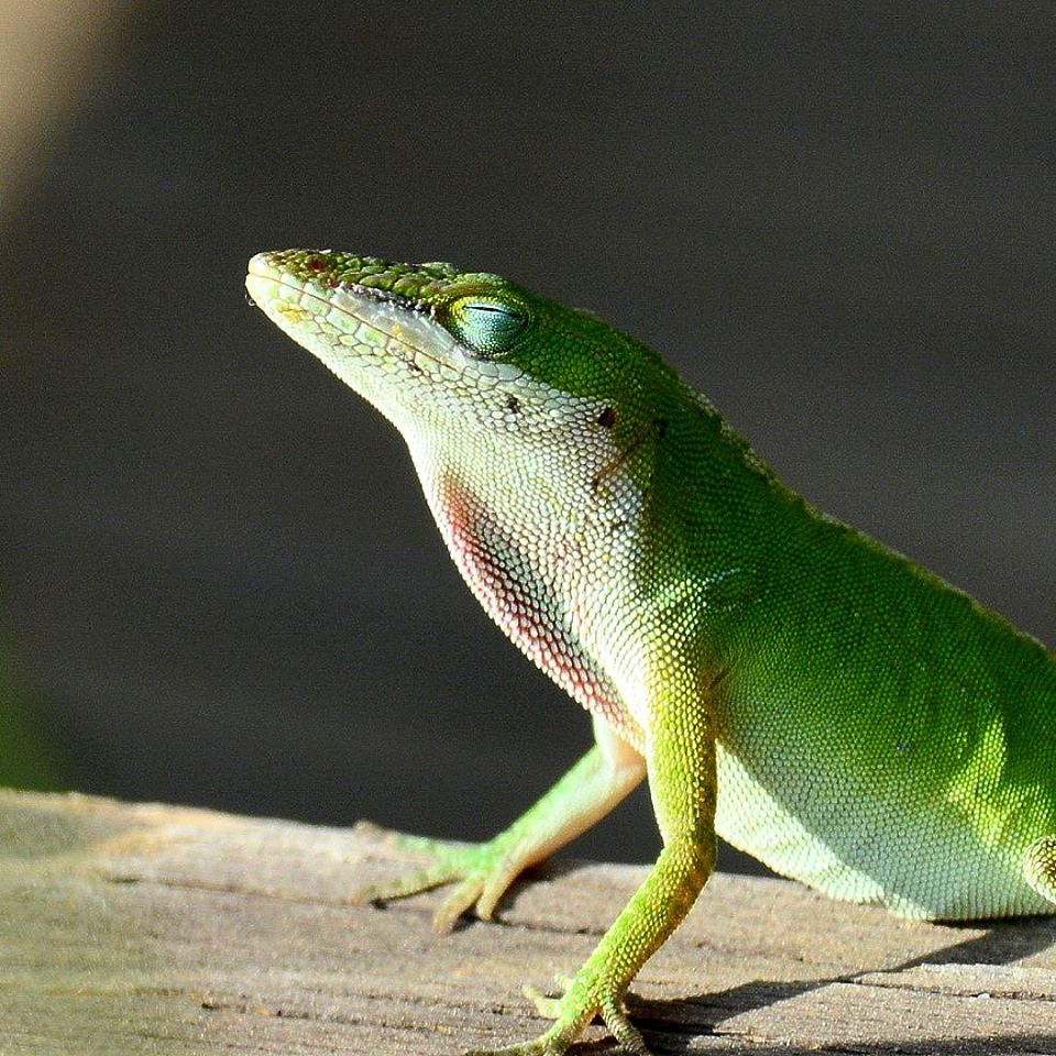 Green anole basking in the sun
