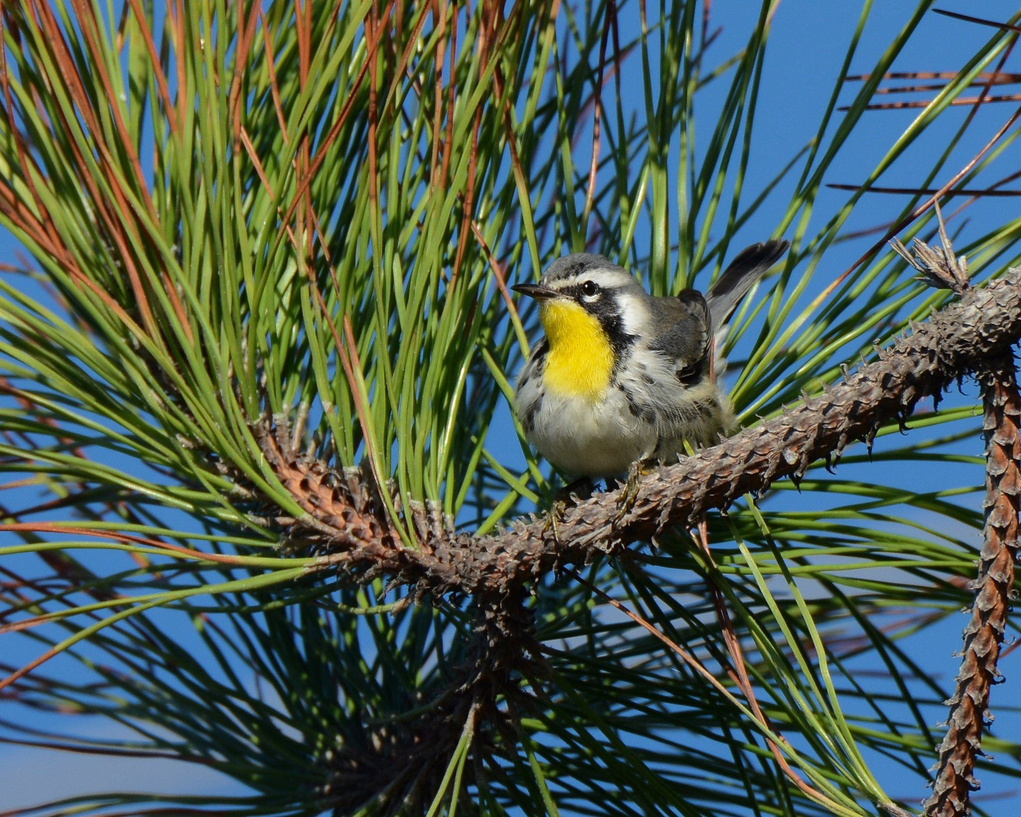 Yellow Throated Warbler in a tree